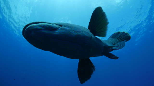 giant napoleonfish (humphead wrasse) close to diver - humphead wrasse stock videos & royalty-free footage