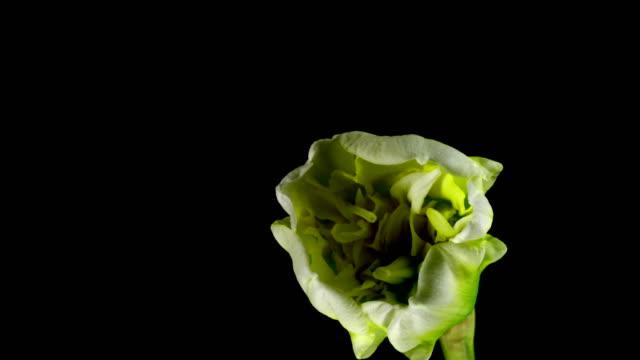 vídeos de stock e filmes b-roll de giant narcissus blooming - prunus taihaku