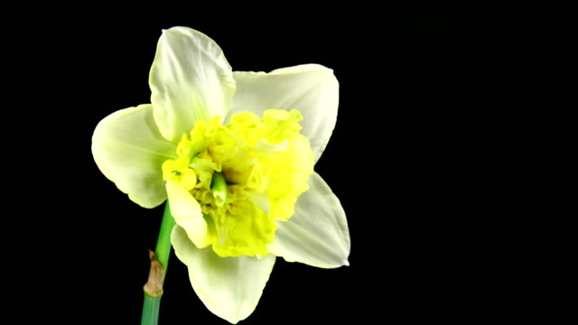 giant narcissus blooming - daffodil stock videos & royalty-free footage