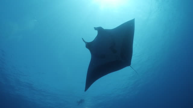 vídeos de stock e filmes b-roll de giant oceanic manta ray flying below sea surface in south maldives - grande raia