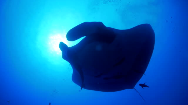giant oceanic manta ray (manta birostris) under sea surface - manta ray stock videos and b-roll footage