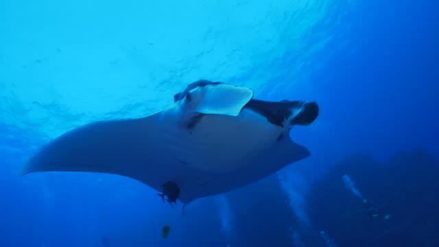 giant oceanic manta ray (manta birostris) undersea - manta ray stock videos & royalty-free footage