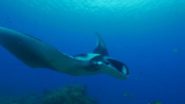 giant oceanic manta ray undersea - manta ray stock videos and b-roll footage