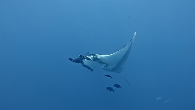 giant oceanic manta ray (mobula birostris) - manta ray stock videos & royalty-free footage