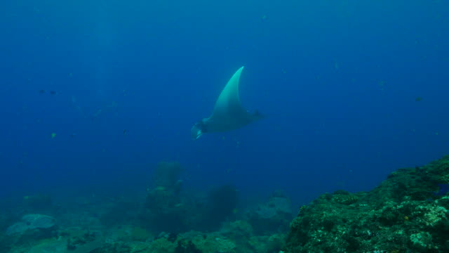 giant oceanic manta ray - manta ray stock videos and b-roll footage