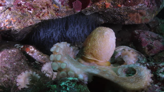 giant octopus hiding between rocks in the sea near the dmz (demilitarized zone between south and north korea), goseong-gun - hiding stock videos & royalty-free footage