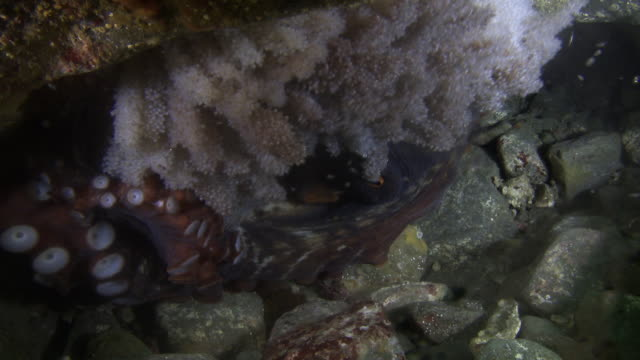 giant octopus providing oxygen to its eggs in the sea near the dmz (demilitarized zone between south and north korea), goseong-gun - pacific ocean stock videos & royalty-free footage