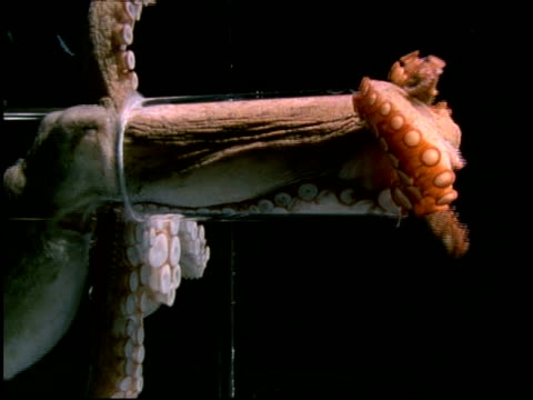 giant octopus squeezes through plastic tube which is 1/10th size of its body, short sequence - man made object stock videos & royalty-free footage