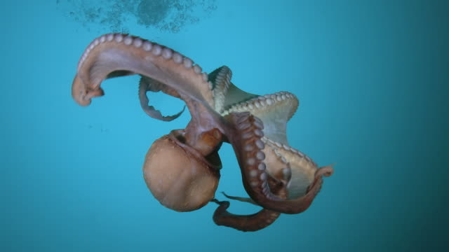 giant octopus swimming in the sea near the dmz (demilitarized zone between south and north korea), goseong-gun - pacific ocean stock videos & royalty-free footage