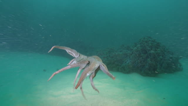 Giant octopus swimming in the sea near the DMZ (Demilitarized Zone between South and North Korea), Goseong-gun