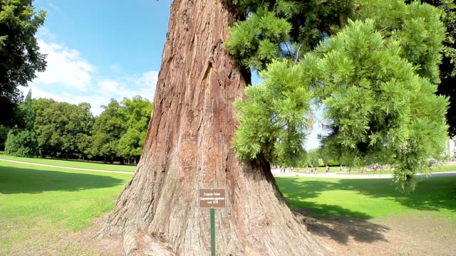 Giant old Sequoia in a Park