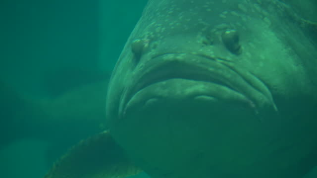 giant or queensland grouper fish - grouper stock videos & royalty-free footage