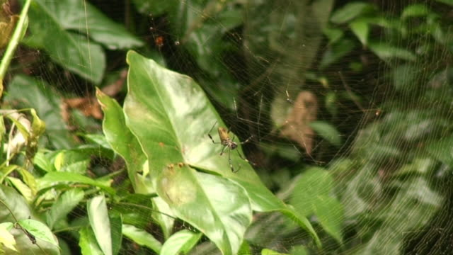 ジャイアントヒメグモ - 動物の脚点の映像素材/bロール