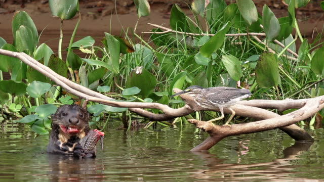 giant otter and striped heron, eating fish, cuiaba river, pantanal, brazil - perch fish stock videos and b-roll footage