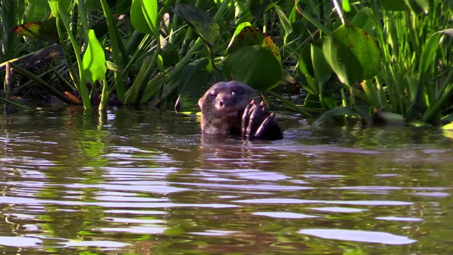 Giant Otter eating fish in Cuiaba River, Pantanal, Brazil