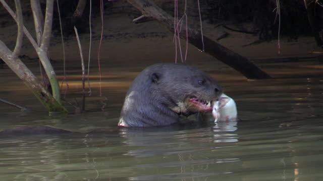 giant otter eating fish it caught in cuiaba river, pantanal, brazil - カワウソ点の映像素材/bロール