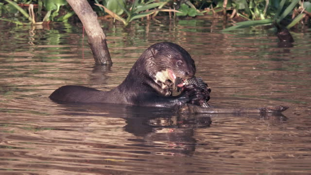 Giant Otter eating Sucker Mouth fish, Cuiaba RiverPantanal, Brazil