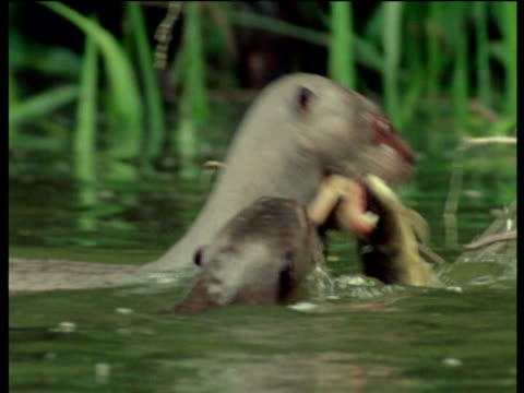 giant otter eats fish in amazon river - カワウソ点の映像素材/bロール