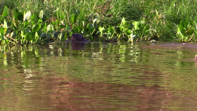 giant otter family swimming in cuiaba river, pantanal, brazil - otter stock videos and b-roll footage