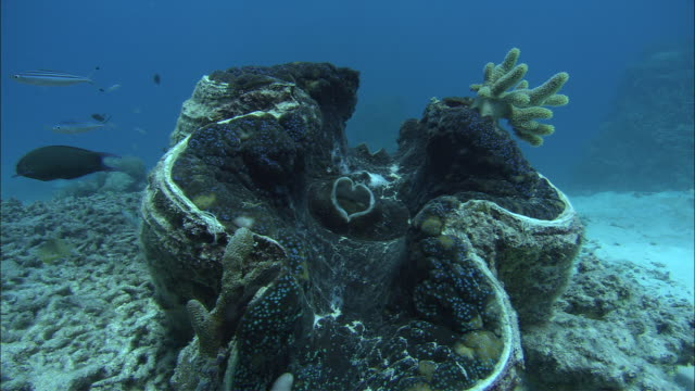 a giant oyster in the great barrier reef snaps shut. - oyster shell stock videos & royalty-free footage
