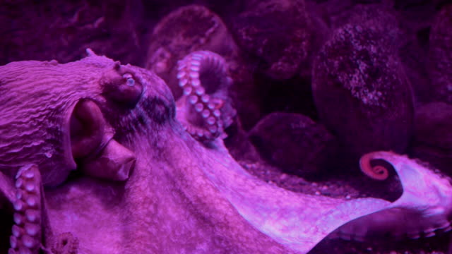 giant pacific octopus near reef - squid stock videos & royalty-free footage