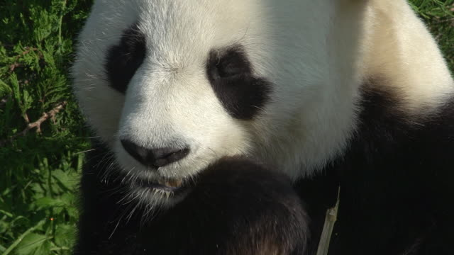 Giant Panda, ailuropoda melanoleuca, Adult eating Bamboo Leaves, Real Time