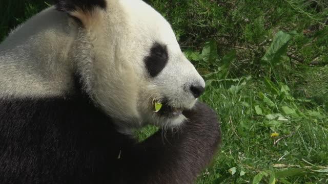 stockvideo's en b-roll-footage met giant panda, ailuropoda melanoleuca, adult eating bamboo leaves, real time - panda