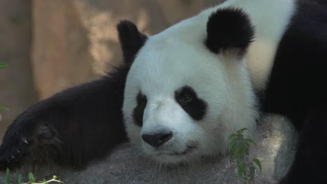 vídeos y material grabado en eventos de stock de giant panda, ailuropoda melanoleuca, adult resting, real time - panda animal
