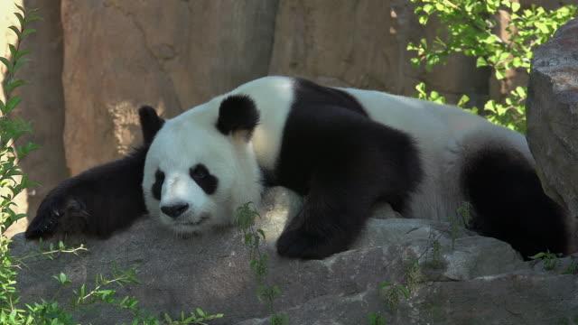 vidéos et rushes de giant panda, ailuropoda melanoleuca, adult resting, real time - panda