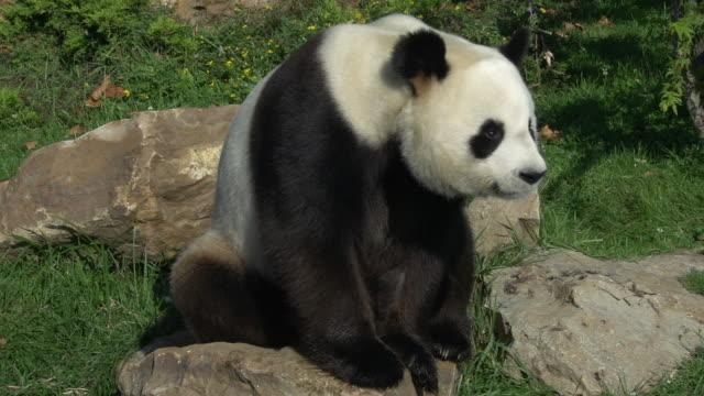 stockvideo's en b-roll-footage met giant panda, ailuropoda melanoleuca, adult sitting, real time - panda