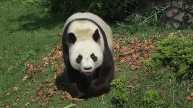 vidéos et rushes de giant panda, ailuropoda melanoleuca, adult walking, real time - panda