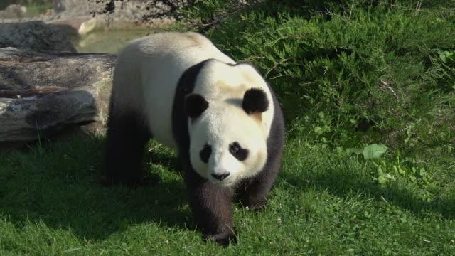 vídeos y material grabado en eventos de stock de giant panda, ailuropoda melanoleuca, adult walking, real time - panda animal
