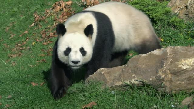 Giant Panda, ailuropoda melanoleuca, Adult walking, Real Time