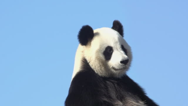 giant panda, ailuropoda melanoleuca, portrait of adult against blue sky, real time - animal head stock videos & royalty-free footage