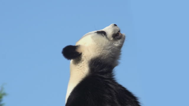 giant panda, ailuropoda melanoleuca, portrait of adult against blue sky, real time - 10 sekunden oder länger stock-videos und b-roll-filmmaterial