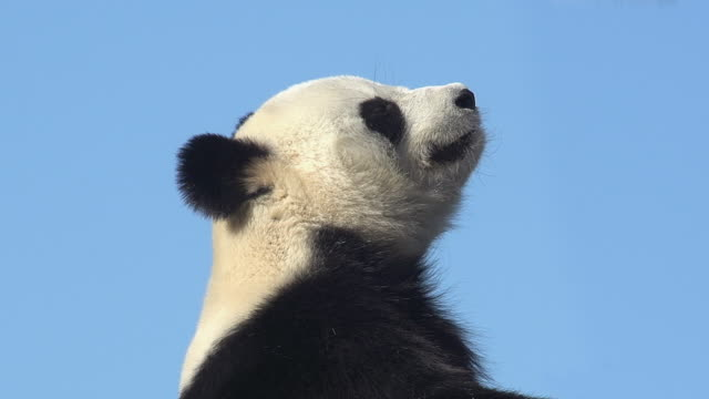 giant panda, ailuropoda melanoleuca, portrait of adult yawning against blue sky, real time - yawning stock videos & royalty-free footage