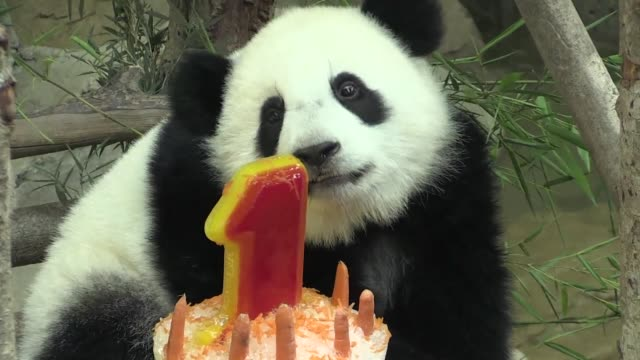 a giant panda born in a malaysian zoo celebrates her first birthday with a cake made of ice in front of adoring visitors - malaysia stock videos & royalty-free footage