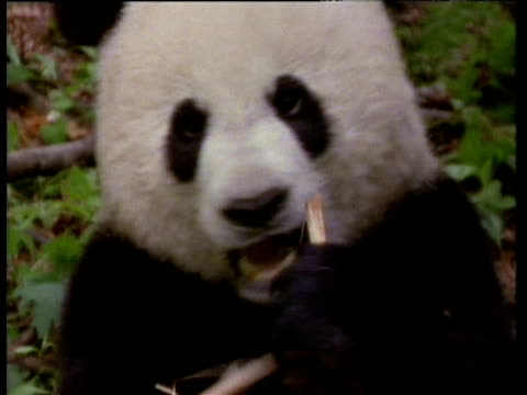 giant panda chews on bamboo shoot - bamboo shoot stock videos & royalty-free footage