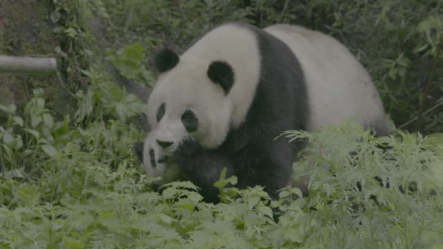 giant panda cub and its mother in wolong panda reserve - raubtier stock-videos und b-roll-filmmaterial