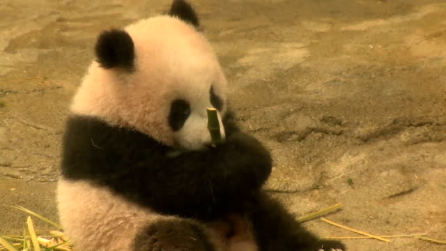 giant panda cub xiang xiang was unveiled to the media on dec 18 one day ahead of her longawaited public debut the 6monthold female cub was not fazed... - bear cub stock videos and b-roll footage