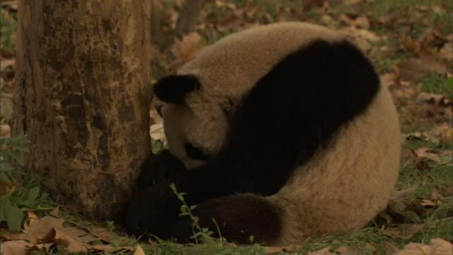 vídeos y material grabado en eventos de stock de ms giant panda (ailuropoda melanoleuca) curled up facing tree trunk and sleeping, wolong national nature reserve, sichuan, china - panda animal