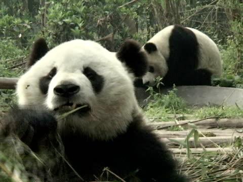 stockvideo's en b-roll-footage met cu, giant panda (ailuropodia melanoleuca) eating bamboo, headshot, chengdu, sichuan , china - panda