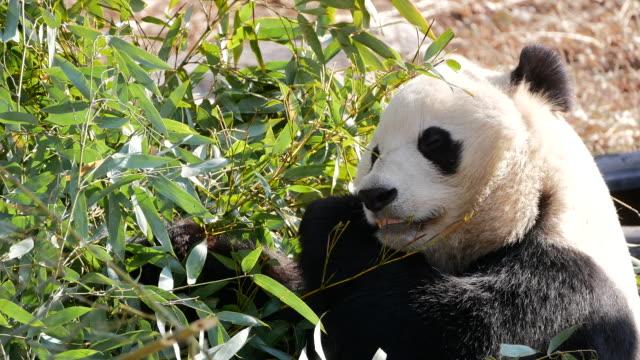 vídeos y material grabado en eventos de stock de panda gigante comiendo hojas de bambú - happy meal