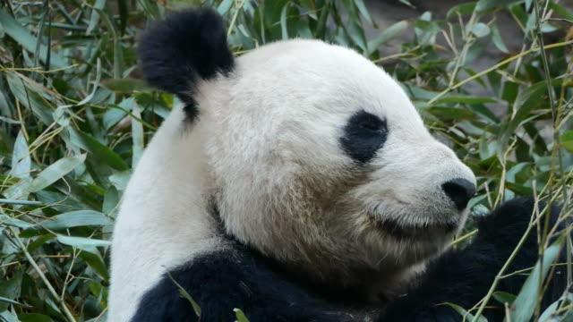 vidéos et rushes de panda géant manger des feuilles de bambou - panda