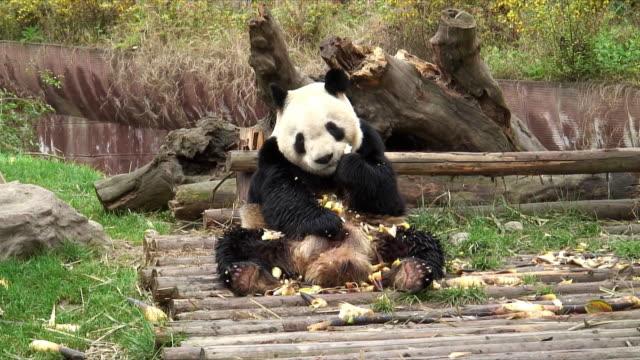vidéos et rushes de ms giant panda (ailuropoda melanoleuca) eating bamboo sitting on wooden footbridge, china - panda