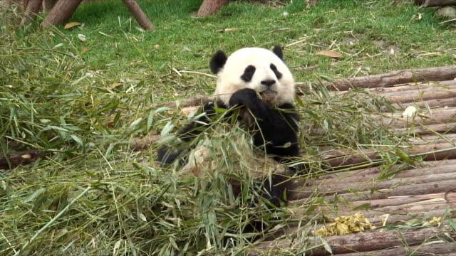 vídeos y material grabado en eventos de stock de ms giant panda (ailuropoda melanoleuca) eating bamboo sitting on wooden footbridge, china - panda animal
