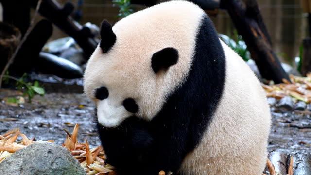 竹を食べるパンダ - パンダ点の映像素材/bロール