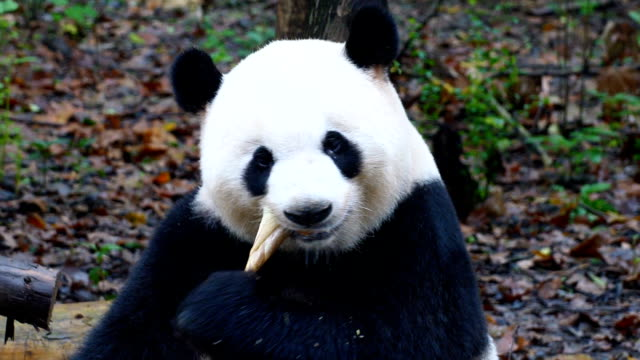 giant panda eating bamboo - bamboo plant stock videos and b-roll footage