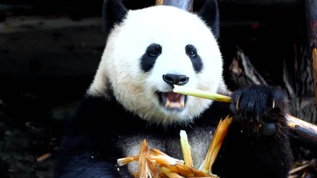 giant panda eating bamboo - bamboo plant stock videos & royalty-free footage