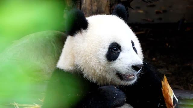 vidéos et rushes de panda géant manger en bambou - panda